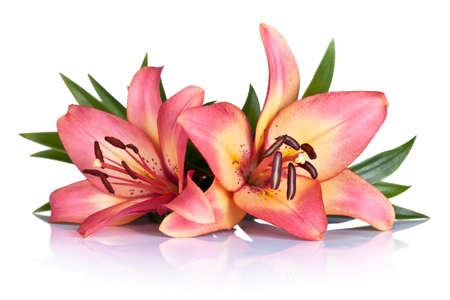 흰색 배경에 핑크 백합 꽃. 매크로 샷