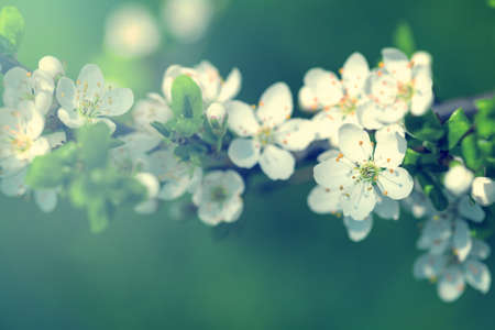 room for text: Spring background with white plum flowers. Empty room for text Stock Photo