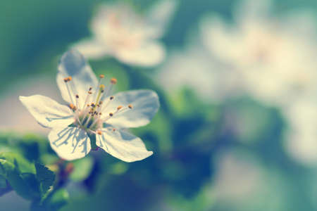White plum flower for spring background. Copy space photo