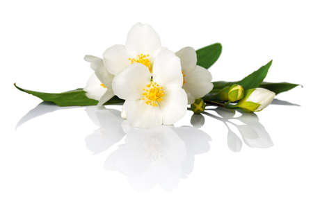 Gelsomino fiori su sfondo bianco. Macro colpo Archivio Fotografico - 28111251