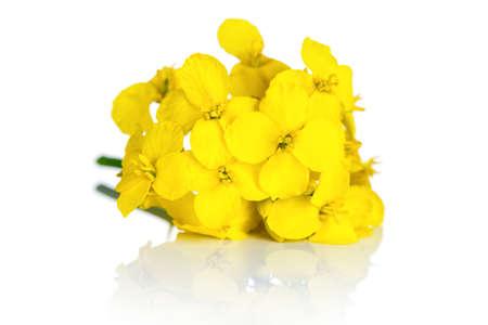 白い背景の菜種の花。アブラナ ワックスレス花