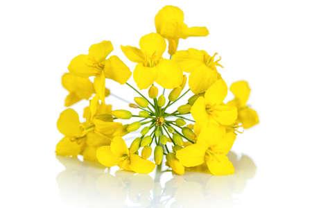brassica: Rapeseed flower on white background. Brassica napus blossom