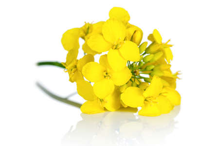 rape: Rapeseed blossom on white background. Brassica napus flowers  Stock Photo