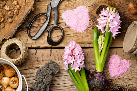 flower pot: Gardening background with hyacinth flower and bulbs on wooden table. Top view