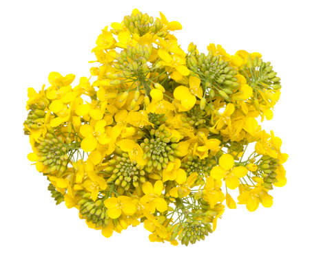Rapeseed flower isolated on white background. Brassica napus blossom. Top view