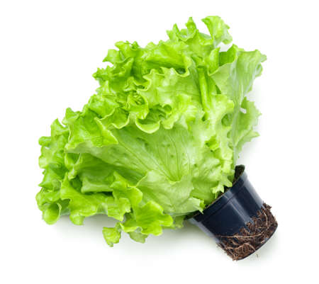 Lettuce in pot isolated on white background. Batavia salad. Top view  Stock Photo
