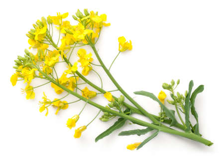 Flor de colza aislada sobre fondo blanco. Flores de Brassica napus. Vista superior Foto de archivo