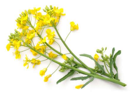 Rapsblüte lokalisiert auf weißem Hintergrund. Brassica napus Blüten. Draufsicht Standard-Bild