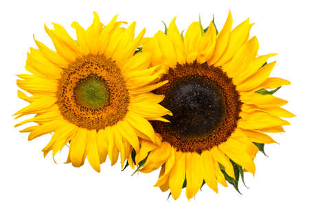Sunflowers isolated on white background. Top view