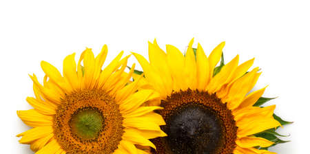 Sunflowers border isolated on white background. Top view