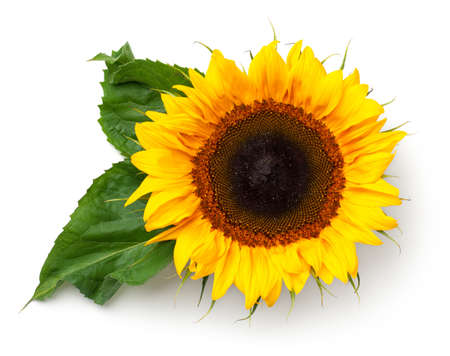 Sunflower with leaves isolated on white background. Top view