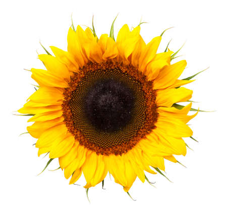 Sunflower isolated on white background. Top view