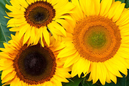 Sunflowers background. Top view Stock Photo