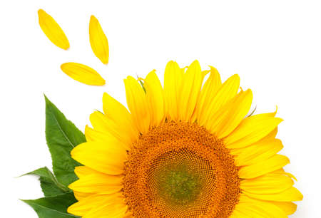 Sunflower concept isolated on white background. Top view