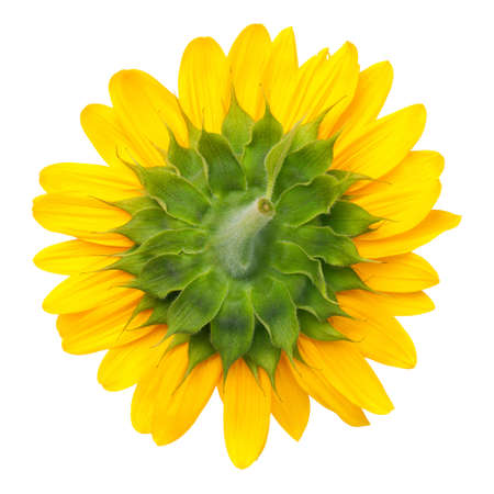 The bottom of sunflower isolated on white background. Top view Stock Photo