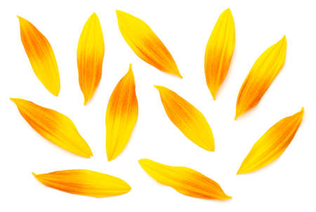 Sunflower petals isolated on white background. Top view, flat lay. Slight shadow