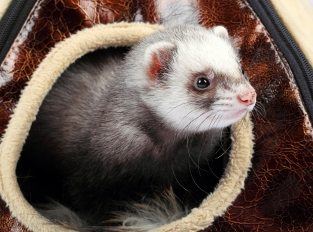 ferret: Young ferret sticking out of the house