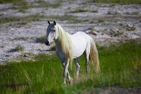 shire horse: White stallion Stock Photo
