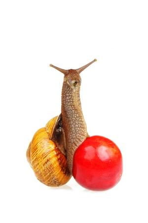 grape snail: Grape snail sitting on the sweet cherry, looks like phallic symbol, isolated on white