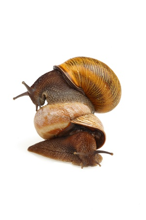 The grape snail riding on another snail, isolated on white Stock Photo
