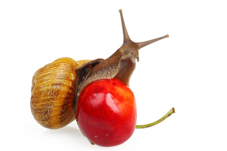 grape snail: Grape snail sitting on the sweet cherry, isolated on white