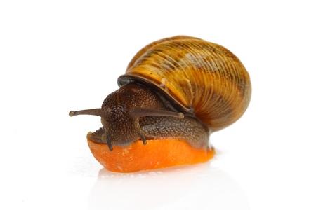 grape snail: The grape snail eating slice of carrot, isolated on white Stock Photo