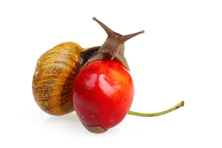 Grape snail sitting on the sweet cherry, isolated on white