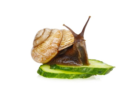 Snail sitting on slices of cucumber, isolated on white