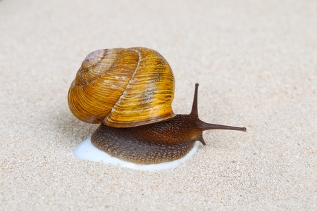 grape snail: Grape snail sitting on the stone in sand