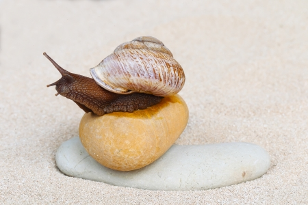 grape snail: Grape snail sitting on the stones in sand