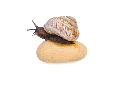 grape snail: Grape snail sitting on the stone, isolated on white
