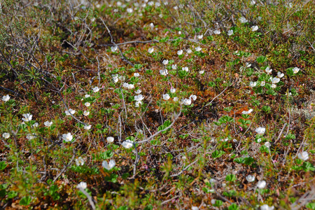 Field of blossom cloudberry in Taimyr tundra photo