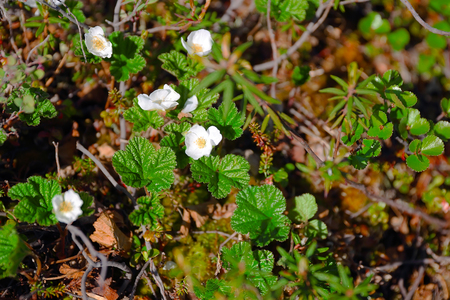 Blossom cloudberry in Taimyr tundra, close up photo
