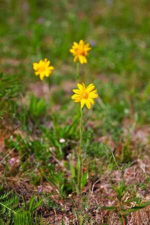 Arnika flowers in Taimyr tundra, close up photo