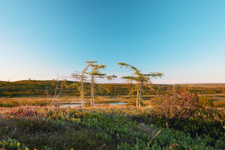 larix sibirica: tundra landscape with winding larch on the blue sky background