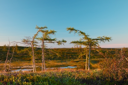 sakhalin: tundra landscape with winding larch on the blue sky background