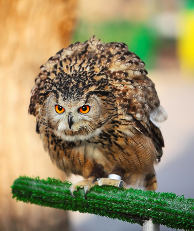 Eagle owl sitting on a perch, Almaty zoo photo