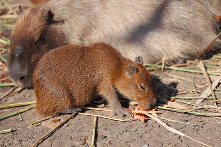 furred: Capybara family in Safari park, Krasnodar, Russia