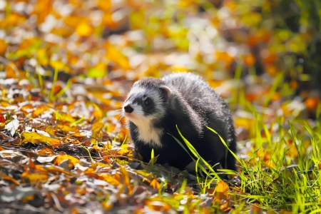 Ferret in yellow autumn leaves. Selective focus photo