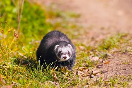 beauty ferret run on the green grass, selective focus photo