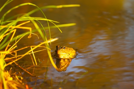 green frog in river water at sunset, close up photo
