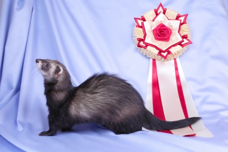 Young sable ferret with award rosette, close up photo