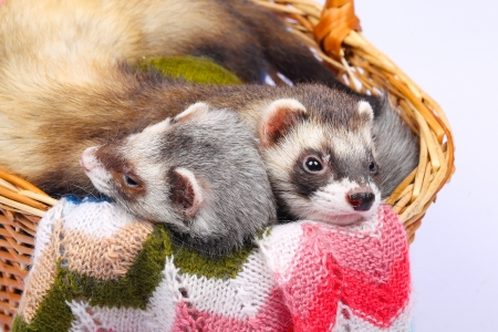 sable: Two sable ferrets lying  in the basket