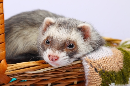 sable: Portrait of sable ferret lying in the basket