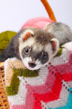 Two sable ferrets lying  in the basket with colorful balls of yarn photo
