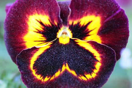 Maroon-yellow Pansy Flower calyx with pollen, looks like stellar sky photo