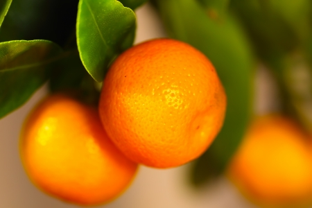Calamondin branch with ripe fruits, close up macro photo