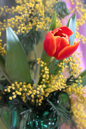 odorous: Still-life with red tulips and a branch of a yellow odorous mimosa in vase