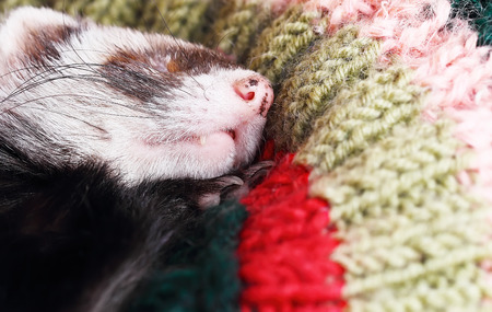 sable: Sable ferret sleeping on crocheted pillow, close up