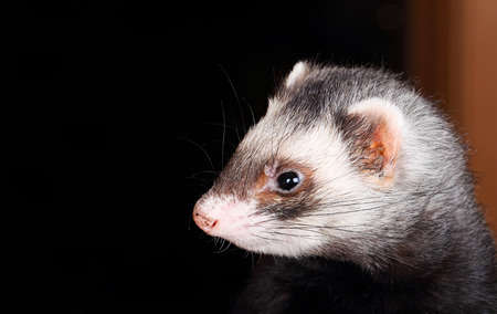 sable: Portrait of sable Ferret, sideview, close up